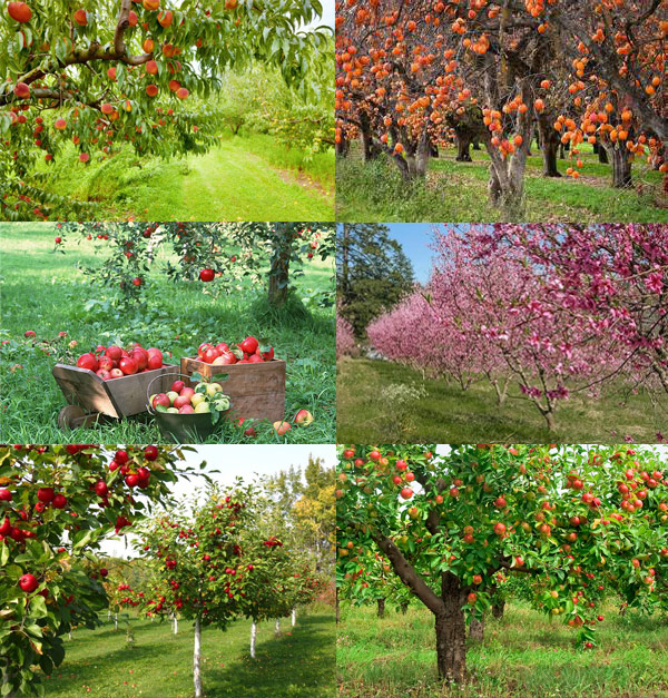 Fruit And Nut Trees And Berry Vines Twitty Nursery